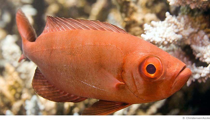 Döda havet fiskar