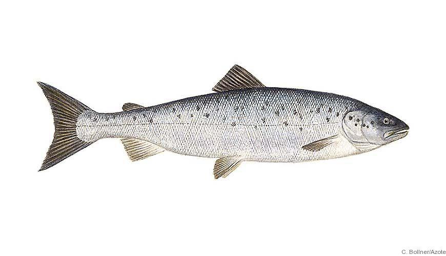 Bild - Pushup-fällor i Sverige - Introduktionen av ett nytt sälsäkert fiskeredskap