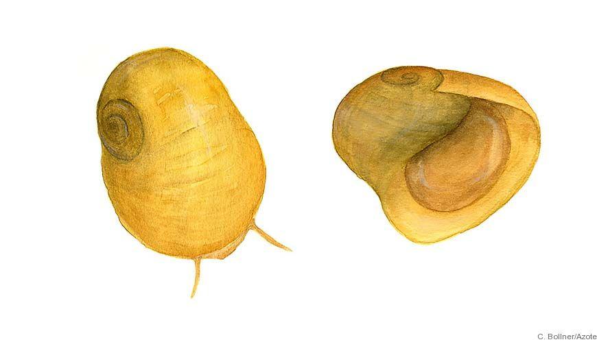 Bild - De trubbiga strandsnäckornas uppkomst - studier kring artbildning hos Littorina fabalis och L. obtusata.