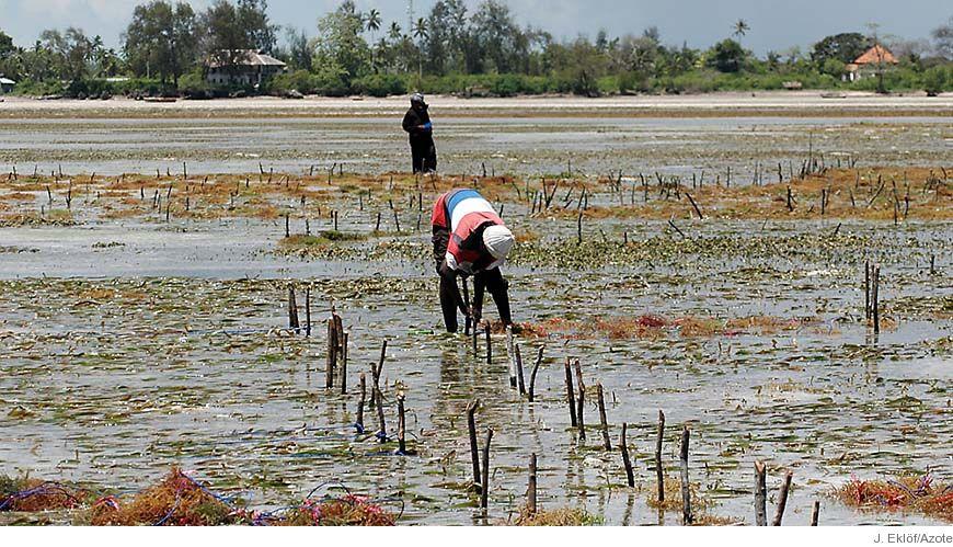 Bild - Makroalger i tropikerna – Förtjänster, problem och potential