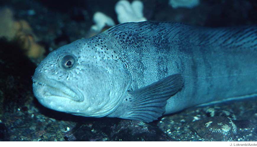 Bild - Åtgärdsprogram för hotade fiskarter och skaldjur