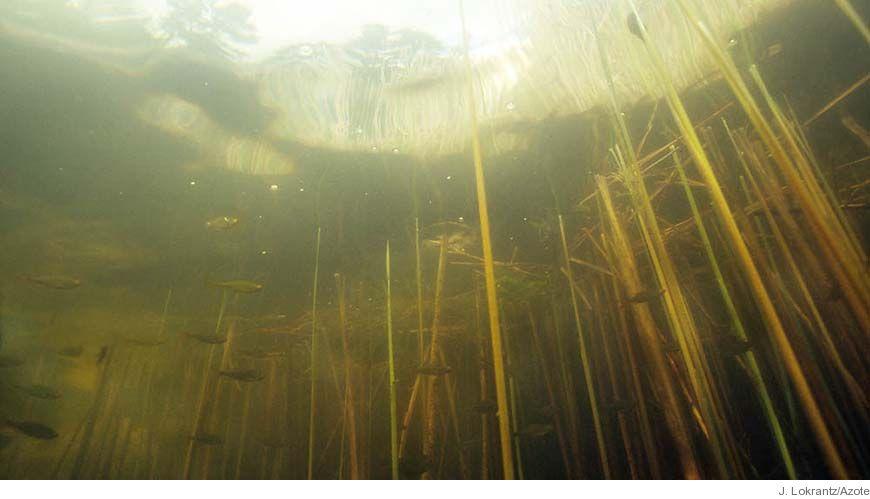 Bild - Yngelledare kan rädda ålbeståndet