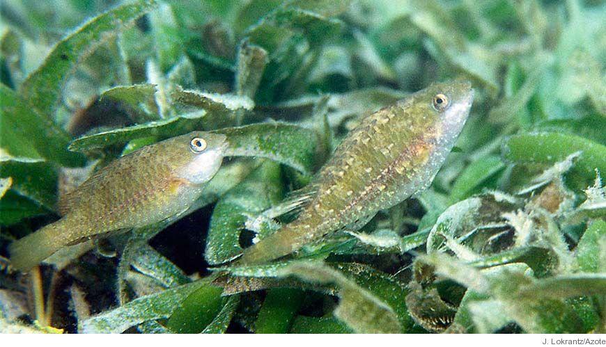 Bild - Variationer hos kvävefixerande cyanobakterier i tropiska sjögräsängar