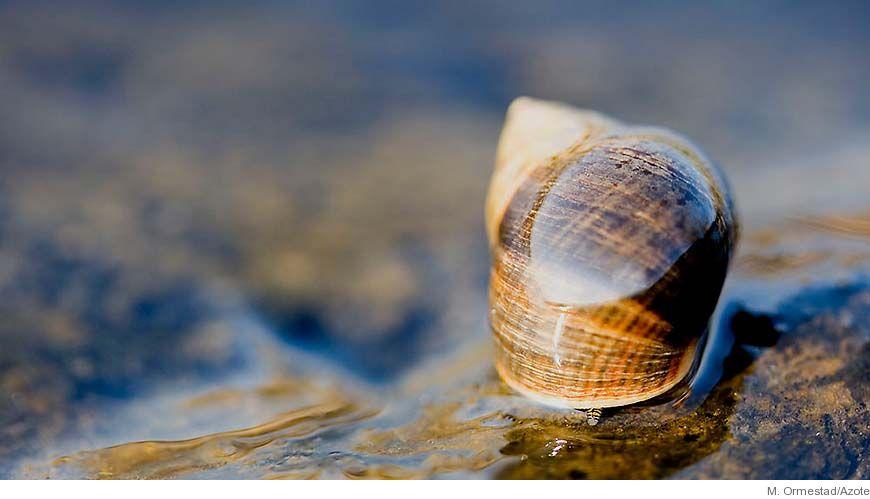Bild - Partnerval och dess evolutionära konsekvenser hos strandsnäckor