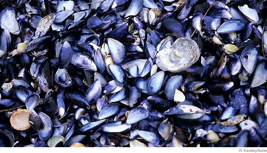 Bild - Grundämnen och organiska miljögifter i blåmusslor från odlingar i Kalmarsund