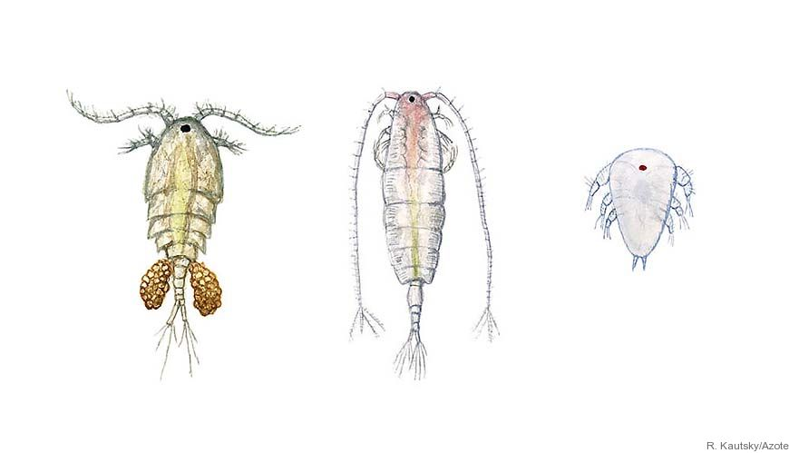 Bild - Cyanobakterieblomningar under sommaren i Östersjön: betydelse för hoppkräftors liv