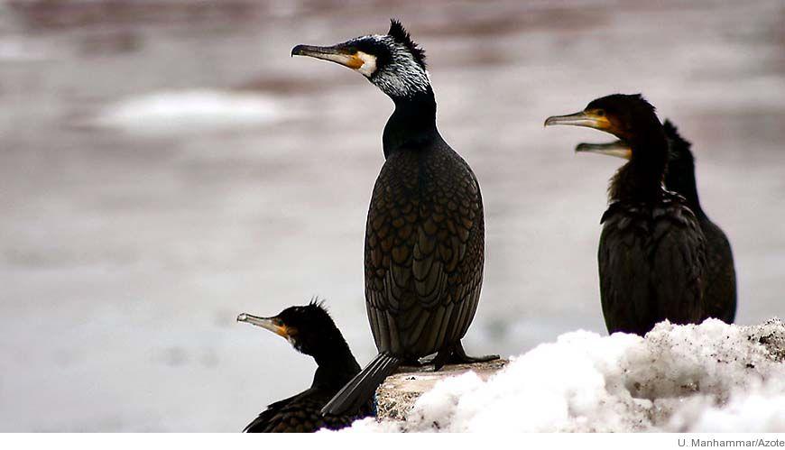 Bild - Konkurrens för Kosterhavets fåglar