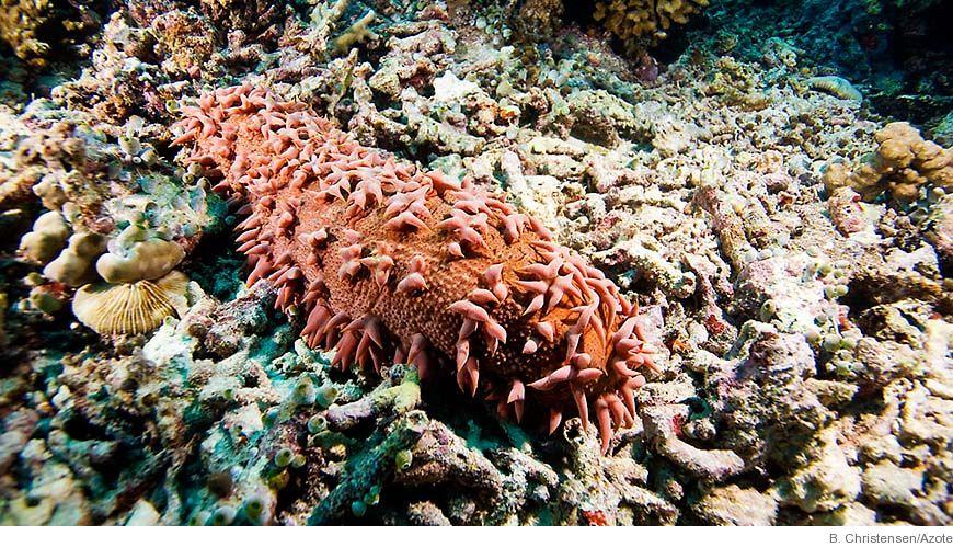 Bild - Förvaltning av sjögurkefiske och vattenbruk: Studier av socio-ekologiska system i västra Indiska oceanen