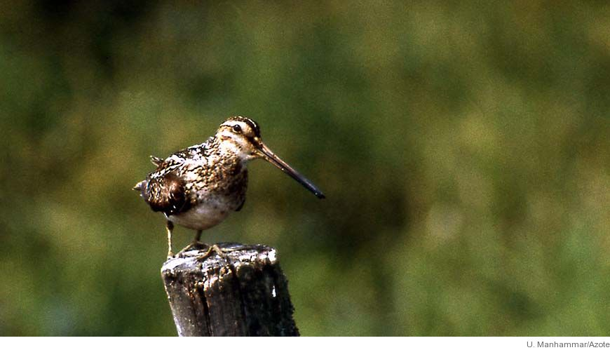 Bild - Vadarfåglarna på väg att försvinna