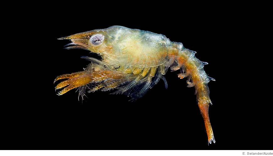 Bild - Djurplankton i våra hav