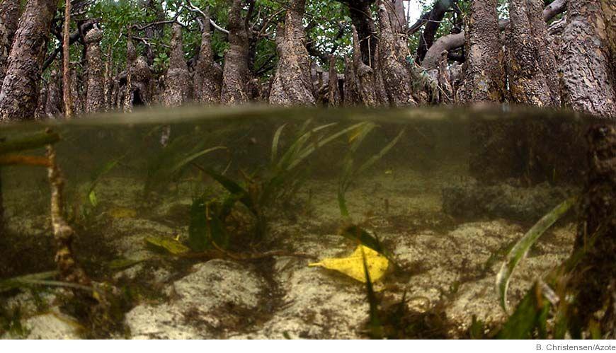Bild - En världsatlas över mangrove