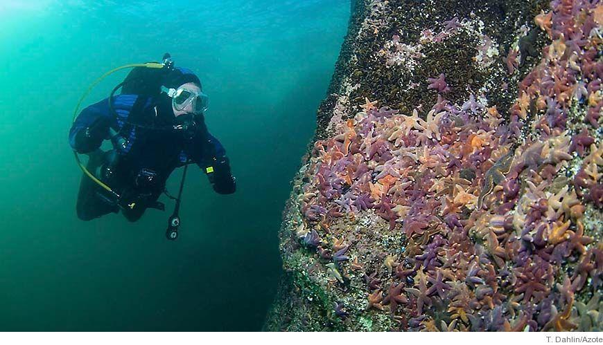 Hundratals sjöstjärnor har invaderat en musselbank.