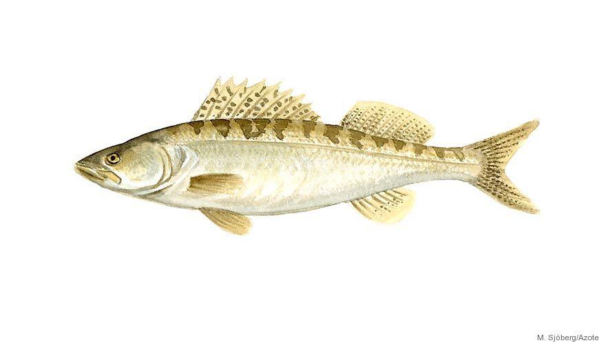 Bild - Att jaga och bli jagad: studier på fisk och deras byten i ett kustområde i Östersjön