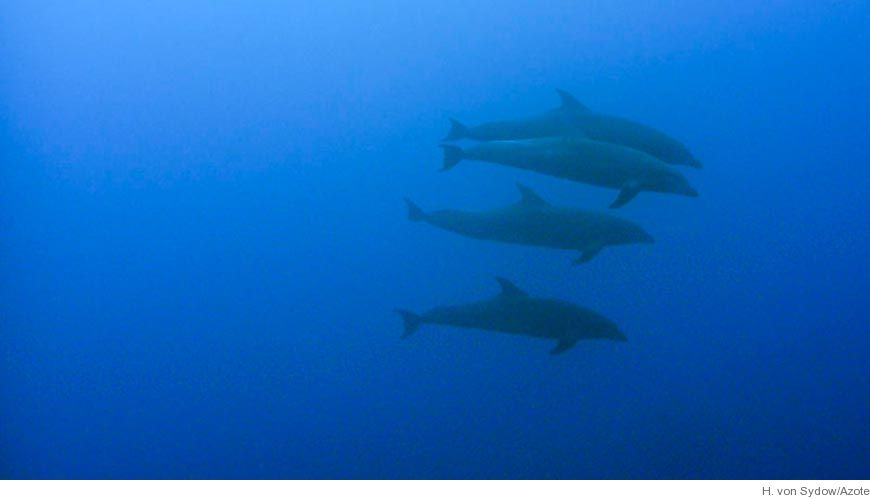 Bild Delfiner styr hjärtrytmen - undviker dykarsjuka