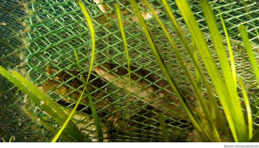Bild - Storleksselektion av fisk vid fällfiske i Egentliga Östersjön och Bottenhavet