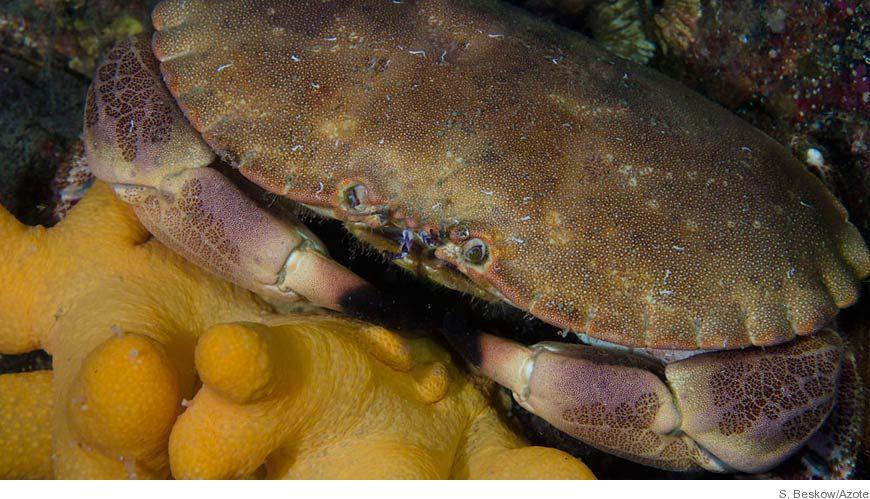 Bild Elektromagnetiska fält hypnotiserar krabbor