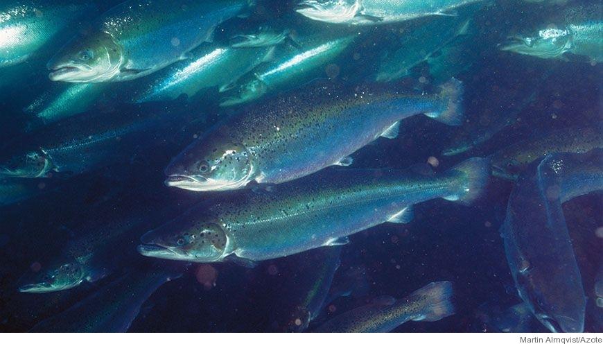 Bild - Tarmrörelse och blodflöde i magtarmkanalen hos benfiskar under matsmältning och osmoreglering