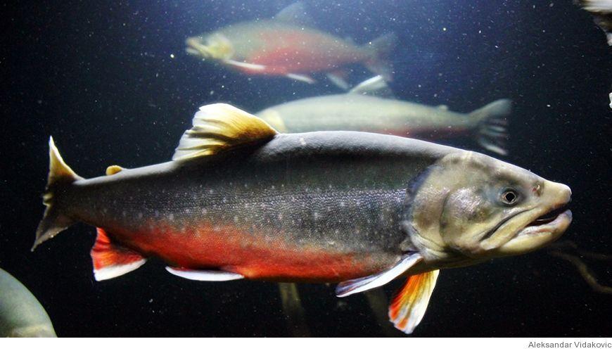 Bild - Svamp- och musselproteinkällor i fiskfoder
