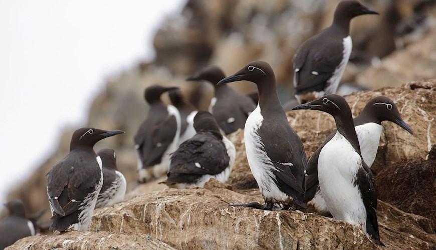 Bild Färre alfåglar men fler sillgrisslor i Östersjön