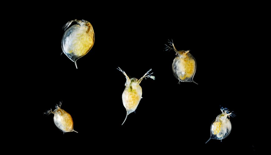 Bild - Zooplankton responses to multiple threats within and across generations