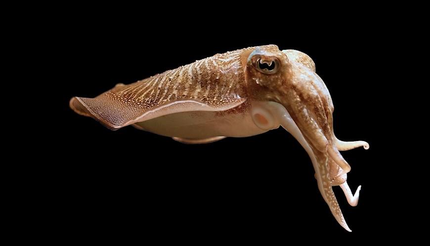 Bild Bläckfiskar har koll