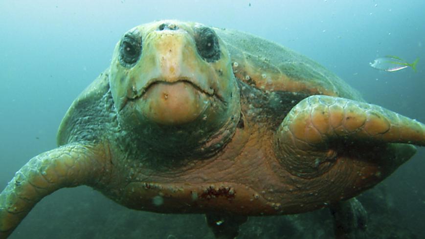 Bild Väderfenomen hjälper havssköldpadda ut på äventyr